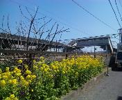 菜の花と駅