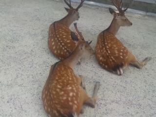鹿も暑かろう
