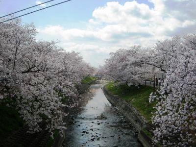 Sakura_img_1825