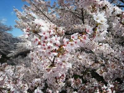 Sakura_img_1831