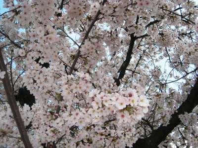 Sakura_img_1841