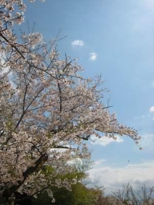 Sakura_matsuyamajoimg_1798