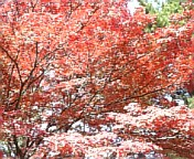 奈良公園のもみじ