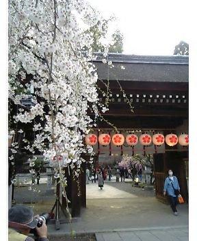 桜が観たくて