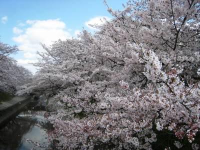Sakura_img_1833