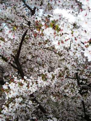 Sakura_img_1842