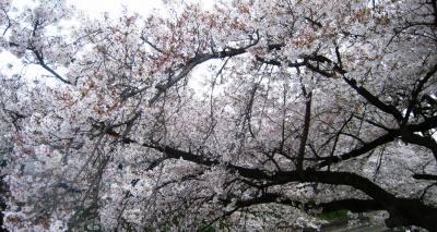 Sakura_img_1843