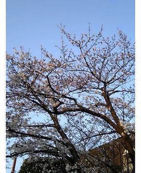 桜も一気に